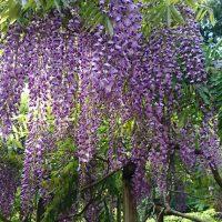 萬葉植物園の藤の花