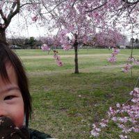 近所の公園の桜