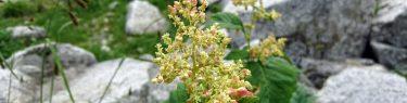 千畳敷カールの高山植物