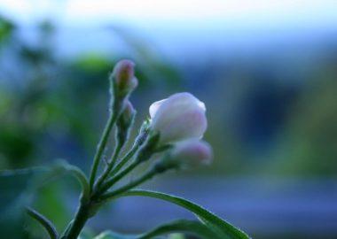 アルプス乙女の花のつぼみ
