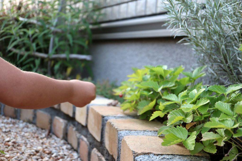 自宅庭ではワイルドストロベリーを収穫