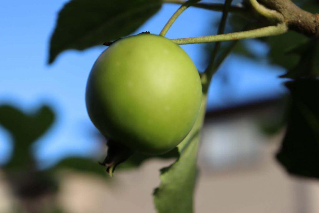 まだ青い姫リンゴ