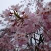 近所の公園で桜の花見
